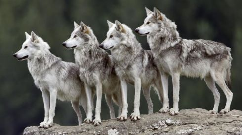 group-wolves-called_9ee7f18bde1c5374